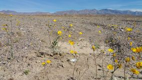 Superbloom i Death Valley Royaltyfria Bilder