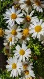 Superbum de Ã- del Leucanthemum imagen de archivo libre de regalías