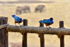 Superbus Starlings, Kenya National Park, Taita Hils, Aftica Stock Photo