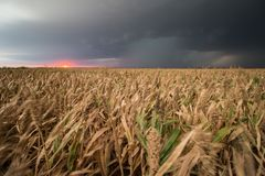 A supercell thunderstorm dumps rain over crops of sorghum at sunset. A supercell thunderstorm dumps rain over crops of sorghum in Kansas at sunset royalty free stock image