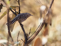Superciliated Wren bird Royalty Free Stock Photo
