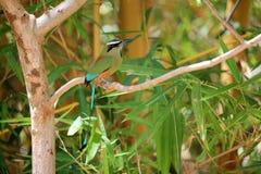 Superciliosa di Eumomota - Motmot Fotografie Stock