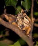 Superciliosus de Palystes de la araña de la lluvia en el capullo del huevo Fotografía de archivo