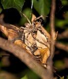 Superciliosus van Palystes van de regenspin op eicocon Stock Foto's
