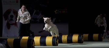 Superdogs Стоковая Фотография