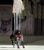 Superdogs Royalty-vrije Stock Foto