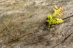 Superfície da árvore rachada velha com uma planta e um musgo da germinação Fundo de madeira velho natural da textura com quebras foto de stock royalty free