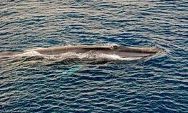 Superfície da baleia de aleta Imagem de Stock Royalty Free