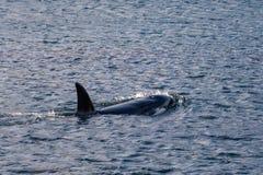 Superfície da baleia da orca, Wellington, Nova Zelândia fotografia de stock royalty free