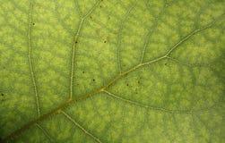 Superfície da folha verde Fotos de Stock