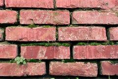 A superfície de uma parede de tijolo velha coberta com o musgo Imagens de Stock Royalty Free