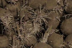 Superfície do fundo de batatas emergentes no porão do alimento foto de stock