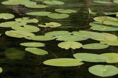Superfície do lago com água Lily Flowers em Rússia fotografia de stock