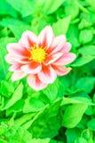 Superfície floral da flor chinesa do cravo fotografia de stock
