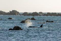 Superfícies da baleia da orca em Wellington New Zealand imagens de stock royalty free