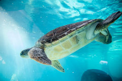 Superfamily de tortue de mer Photographie stock libre de droits