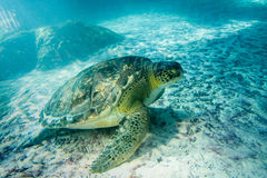Superfamily de tortue de mer Photo stock