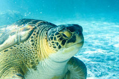 Superfamily de tortue de mer Images libres de droits
