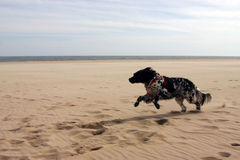 Superfast. Dog running on the beach Stock Photography