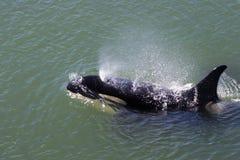 Superfície da orca Imagens de Stock