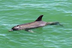 Superfici del delfino per aria Immagine Stock Libera da Diritti