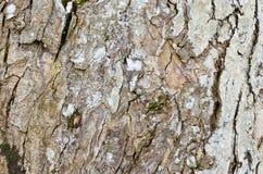 Superficie approssimativa dell'albero del primo piano vecchia per fondo Fotografia Stock