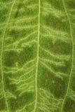 Superficie borrosa de una hoja verde como fondo Foto de archivo libre de regalías