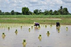 Superficie creciente del arroz Imágenes de archivo libres de regalías