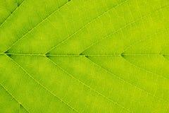 Superficie de la hoja - fondo - verde - vena - simetría Imagen de archivo libre de regalías