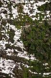 Superficie del árbol de abedul Fotos de archivo libres de regalías
