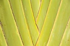 Superficie del árbol de plátano Imagenes de archivo