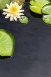 Superficie dell'acqua con le foglie gialle di verde e della ninfea Fotografie Stock Libere da Diritti