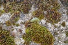 Superficie della montagna rocciosa coperta dai lichenes e dal muschio Fotografia Stock Libera da Diritti
