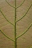 Superficie di giovani foglie del tek immagini stock