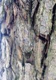 Superficie estructural hermosa de la corteza en diversos árboles Apenas corteza en un árbol Imagenes de archivo