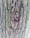 Superficie estructural hermosa de la corteza en diversos árboles Apenas corteza en un árbol Fotografía de archivo libre de regalías