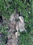 Superficie estructural hermosa de la corteza en diversos árboles Apenas corteza en un árbol Imagen de archivo libre de regalías