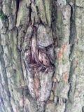 Superficie estructural hermosa de la corteza en diversos árboles Apenas corteza en un árbol Foto de archivo