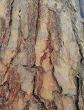 Superficie estructural hermosa de la corteza en diversos árboles Apenas corteza en un árbol Imagen de archivo