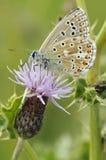 Superficie inferior azul de la mariposa de Adonis Imágenes de archivo libres de regalías