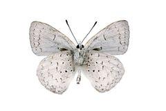 Superficie inferior de la mariposa, azul común del lápiz Fotografía de archivo