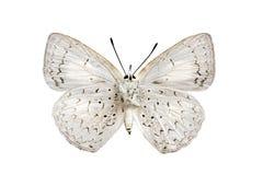 Superficie inferior de la mariposa, azul común del lápiz Foto de archivo