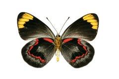 Superficie inferior de la mariposa de Jezabel negro Imagen de archivo libre de regalías