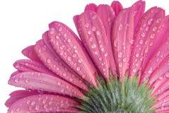 Superficie inferior de una flor rosada de Gerber con las gotitas de agua Fotografía de archivo