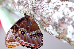 Superficie inferior de una mariposa, Morpho azul Imagen de archivo libre de regalías