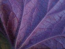 Superficie inferior púrpura texturizado de la hoja del Heuchera en macro Imagen de archivo libre de regalías