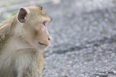 Superficie laterale della scimmia con lo spazio della copia Fotografie Stock Libere da Diritti
