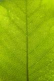 Superficie verde de la hoja fotos de archivo