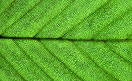Superficie verde de la hoja Imagenes de archivo