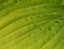 Superficie verde del foglio Immagini Stock